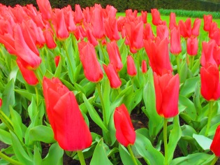 Tulips at the Keukenhof, The Netherlands
